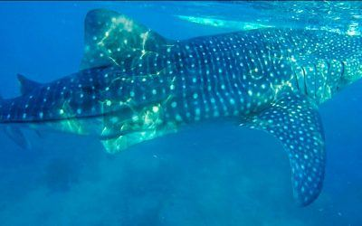 How I Thought I was Going to Be Swallowed Whole by a Whale Shark